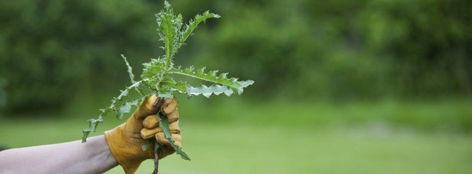 Désherbage des mauvaise herbes
